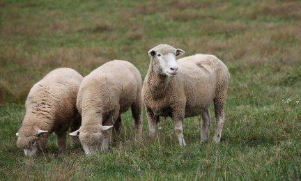 Glenrosefarms | Our Sheep